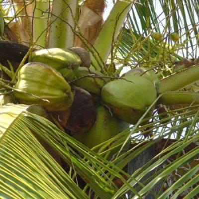 Coconut Water: Health Food or Health Fad?